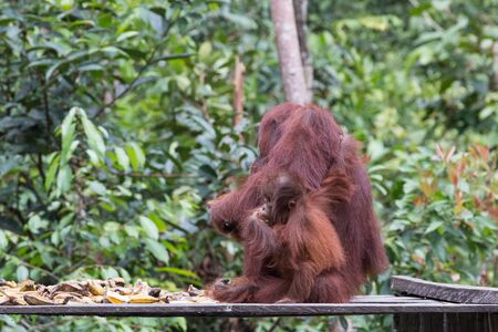 humane: Orangutan Indonesia