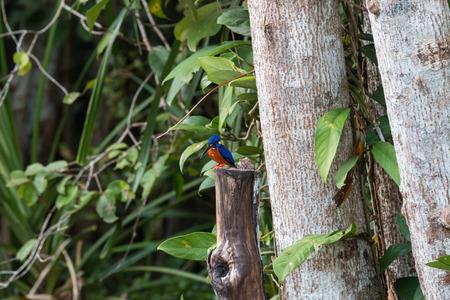 kingfisher: Kingfisher Sekonyer river