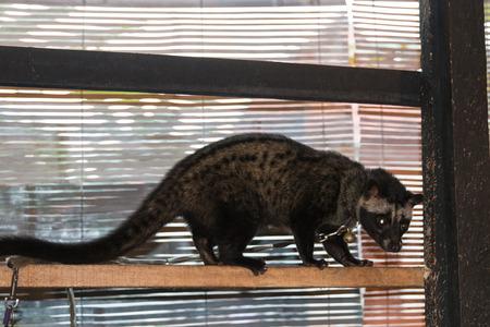 kopi: Civet Indonesia