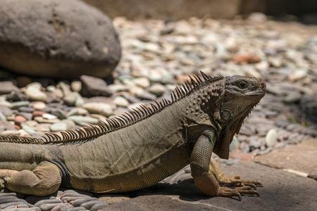 reptile: Iguana Reptile Park Bali