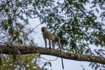 burundi: monkey in Burundi Africa
