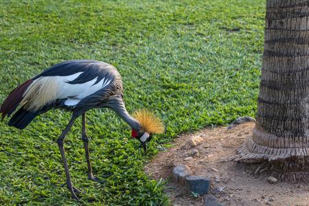 burundi: crowned crane in Burundi