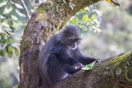 kilimanjaro: Blue Monkey Kilimanjaro Tanzania