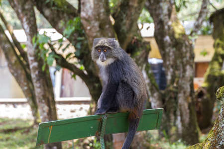 tanzania: Blue Monkey Kilimanjaro Tanzania