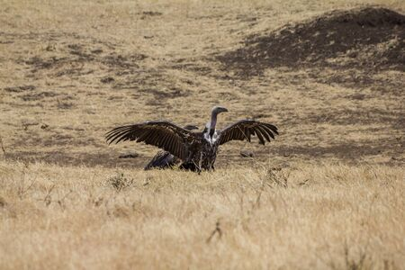 vulture: Ngorongoro Crater Vulture