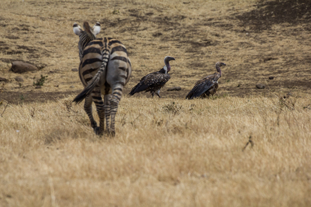 crater: Ngorongoro Crater Vulture and Zebra