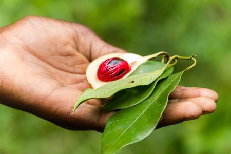 nutmeg: spice nutmeg Zanzibar