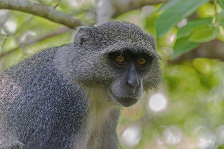 zanzibar: red colobus - Zanzibar