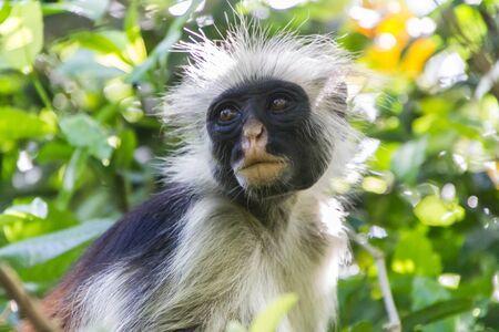 zanzibar: Red Colobus Monkey - Zanzibar