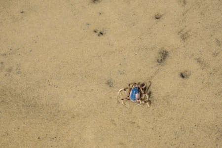 fraser: Blue crab, Fraser Island, Australia Stock Photo