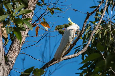 sulfur-crested cockatoo - fraser island, australia