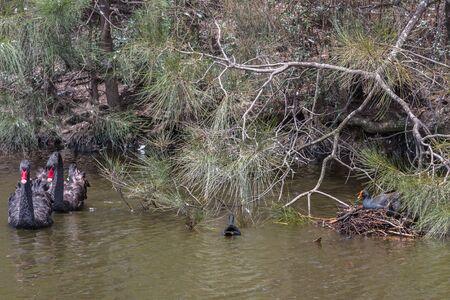 Black Swan (Cygnus atratus) - Australia Stock Photo - 90933007