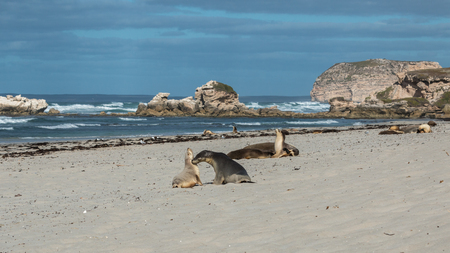 Seals colony on Seal Bay, Kangaroo Island, South Australia