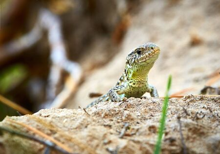 blooded: Lizard in the open, in the grass
