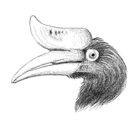 Rhinoceros hornbill drawing in black. Vector illustration.