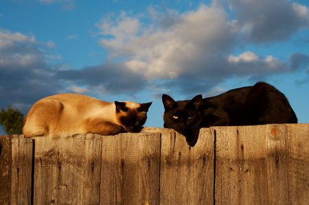 Siamese and black cats on fence Stock Photo