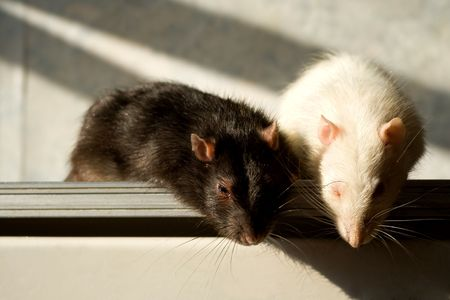 Black and white rats with place for text