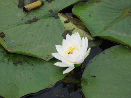 nymphaeaceae: White waterlily Nymphaeaceae closeup Stock Photo