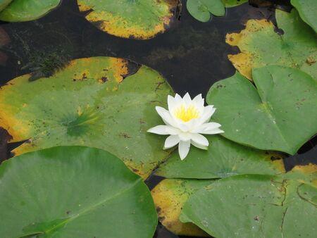 nymphaeaceae: White waterlily Nymphaeaceae
