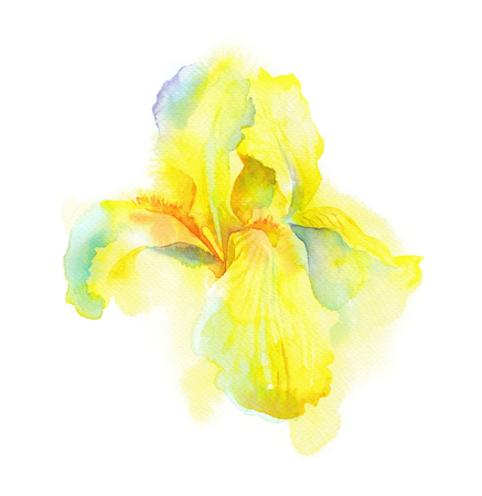 Irises written by hand in waterkolor, delicate yellow iris flower painted with colors for design