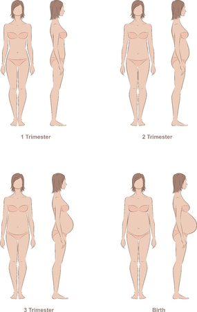 Vector illustration of pregnant female silhouette. Change in proportions from 1 trimester to birth
