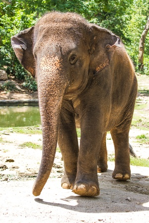 сooking: an elephant walking in thailand Stock Photo