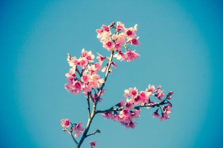 Wild himalayan cherry flower in Chiangmai, Thailand