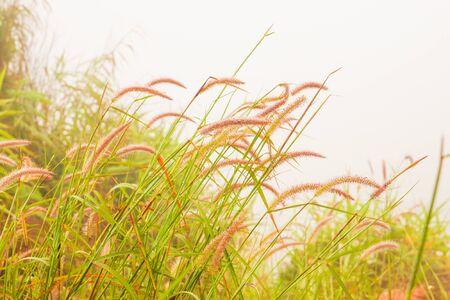Beautiful grass flower in fog Stock Photo