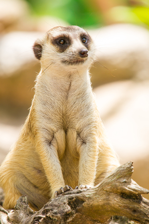 Meerkat close up Stock Photo