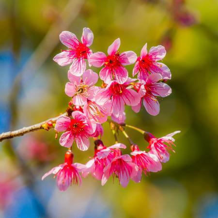 wild himalayan cherry blossom, sakura flower Stock Photo