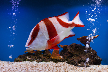 Red Snapper fish in aquarium of thailand Foto de archivo