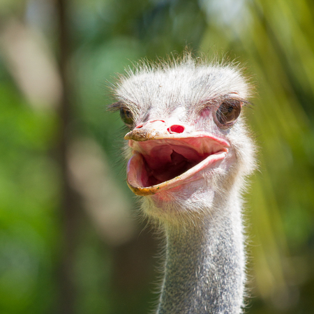 ostrich smile with forest background. Cute and funny animal.