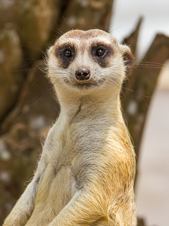 Meerkat in safari with blur background Imagens