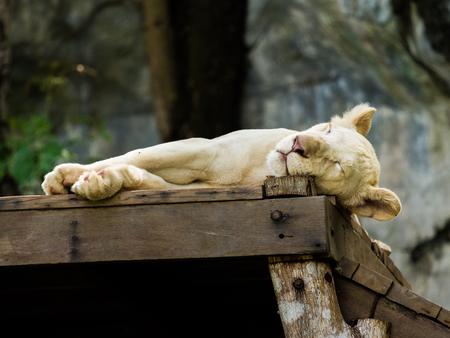 Sleepy white lion Stock Photo