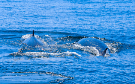 brydes whale in gulf of thailand