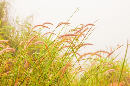 Grass flower in fog