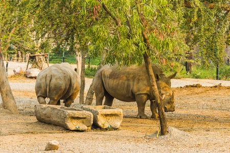 Rhinoceros in safari