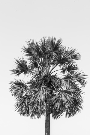 Blank and white image of sugar palm tree