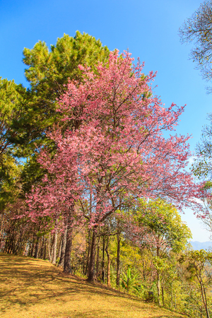 Beautiful Wild Himalayan Cherry flower blossom on blue sky