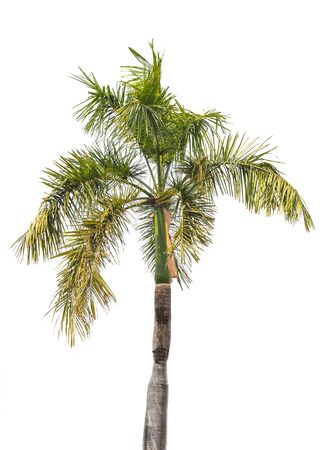 Plam tree isolated on white background