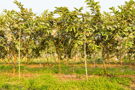 Guava tree orchard Stock Photo