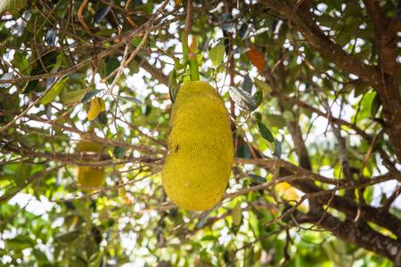 Jackfruit hang on tree