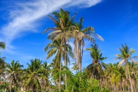 Coconut tree and blue sky