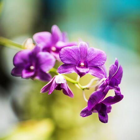 Purple orchids flower close up