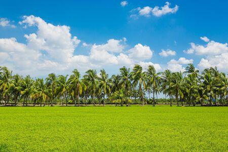 Paddy rice field with blue sky Stok Fotoğraf