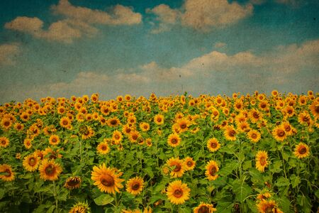Sunflower blossom in sunny day. Vintage filter
