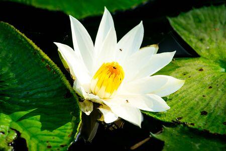White lotus flower close up Imagens