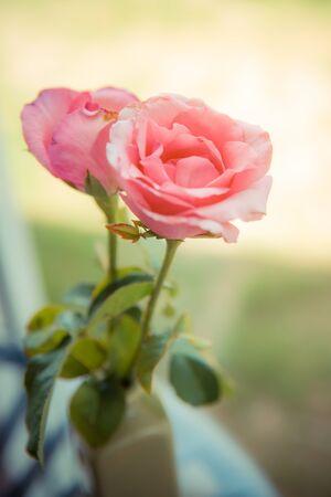 Pink roses flower close up Imagens