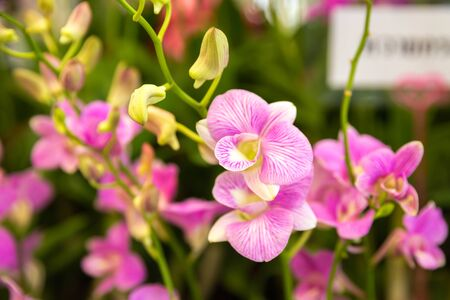 Purple orchid flower close up