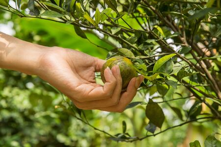 Hand harvesting fresh orange fruit